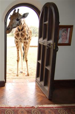 Giraffe at the front door (Photo credit: Wikimedia Commons)